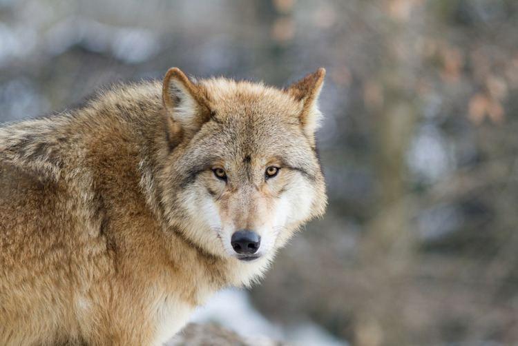 Himalayan wolf himalayan wolf Adventure Travel Blog