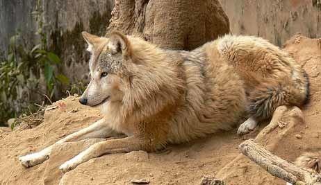 Himalayan wolf Educational Himalayan Wolves