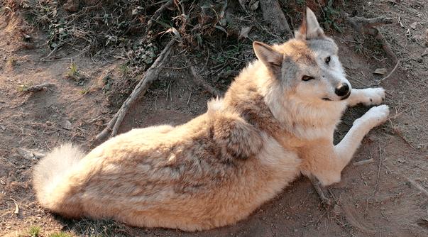 Himalayan wolf Himalayan Wolf Canis himalayensis 39Souls Wiki