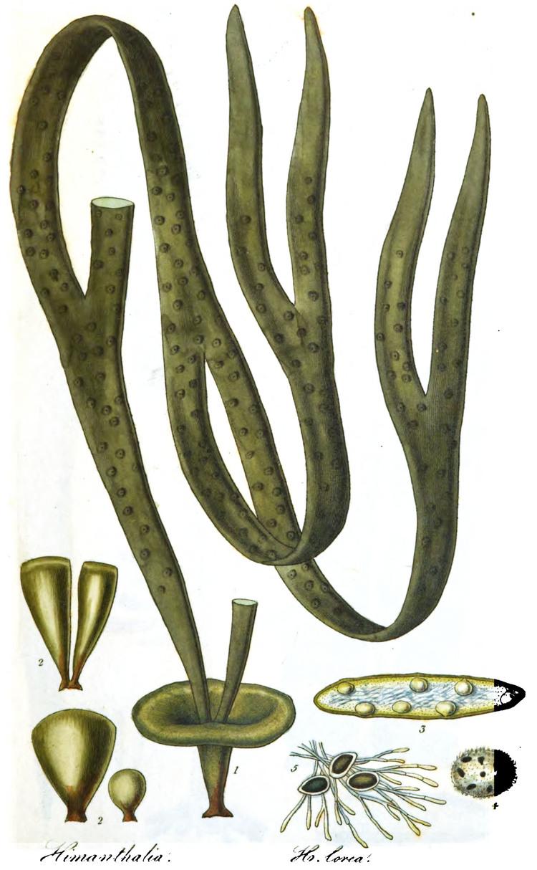 Himanthalia elongata MACOI Portuguese Seaweeds Website