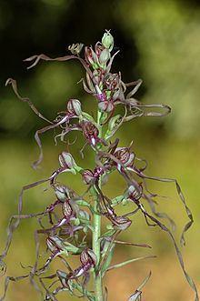 Himantoglossum httpsuploadwikimediaorgwikipediacommonsthu