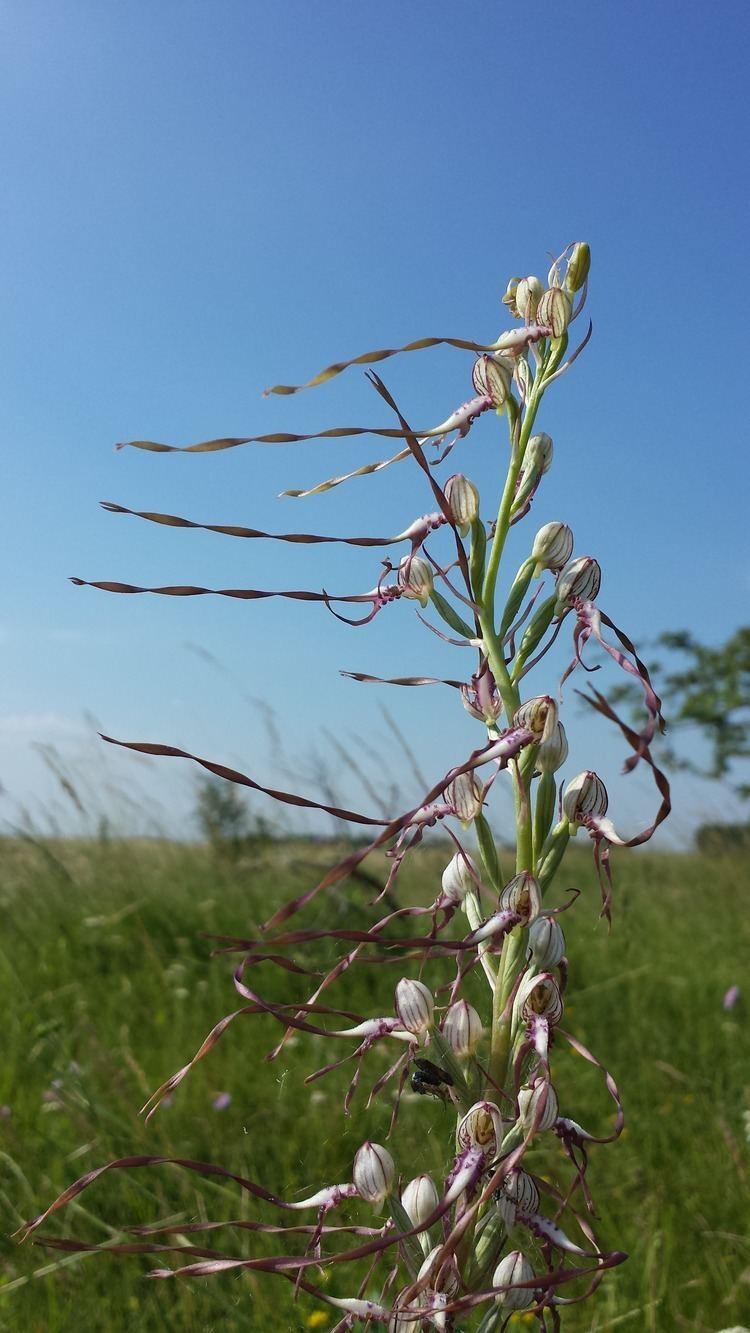 Himantoglossum adriaticum FileHimantoglossum adriaticum sl7jpg Wikimedia Commons