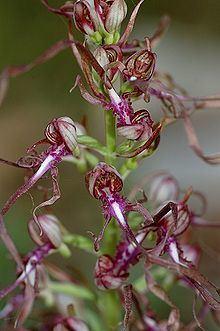 Himantoglossum adriaticum httpsuploadwikimediaorgwikipediacommonsthu