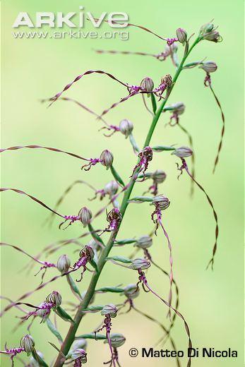 Himantoglossum adriaticum Himantoglossum videos photos and facts Himantoglossum adriaticum