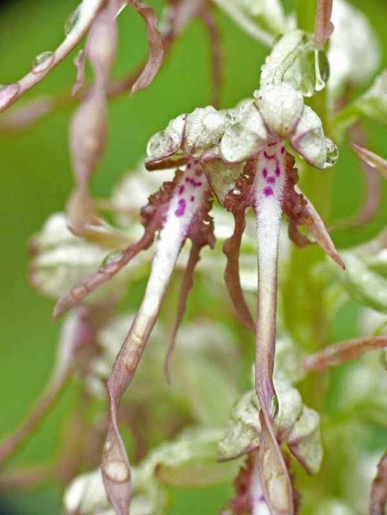 Himantoglossum Generi della flora italiana Himantoglossum
