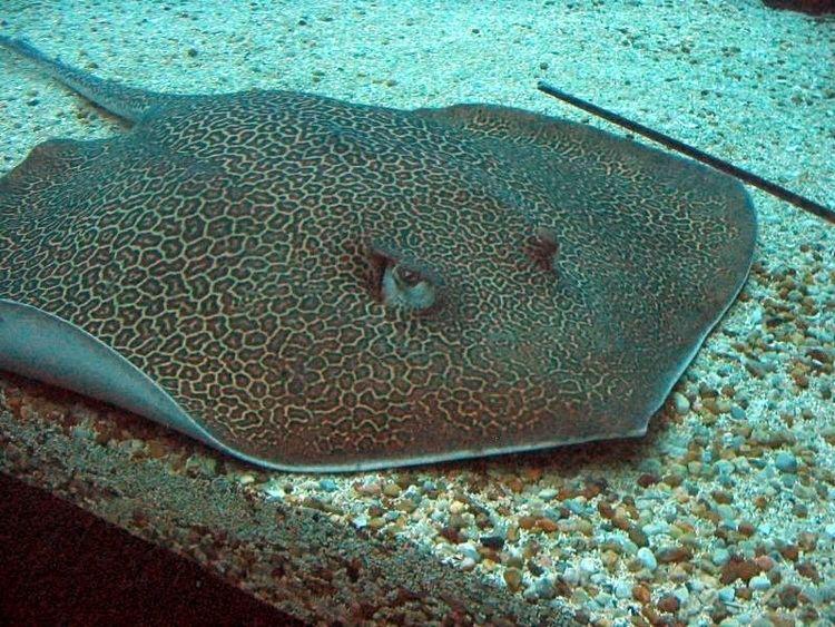 Himantura Honeycomb whipray Wikipedia