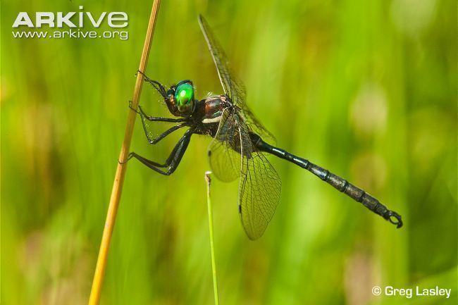 Hine's emerald dragonfly Hine39s emerald videos photos and facts Somatochlora hineana ARKive