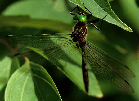 Hine's emerald dragonfly Hines Emerald Dragonfly l Endangered Our Breathing Planet