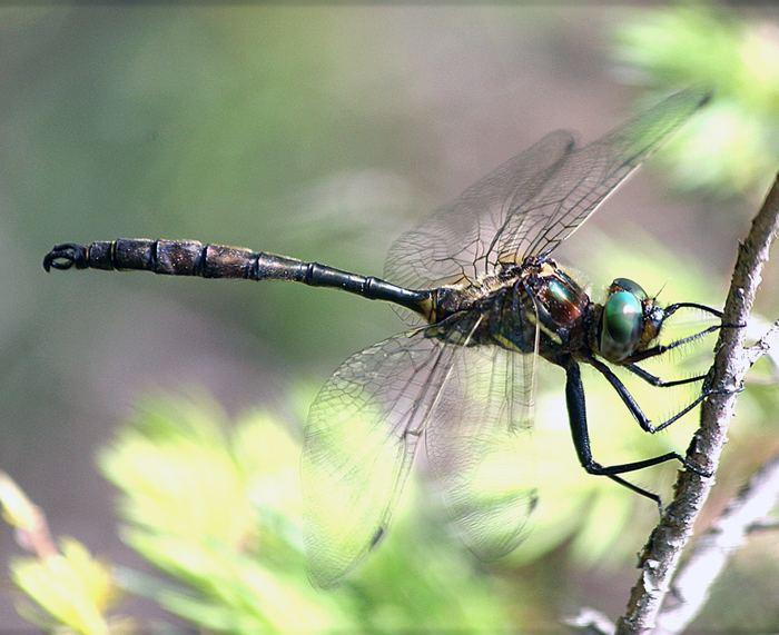 Hine's emerald dragonfly Endangered Species Program News Bulletins