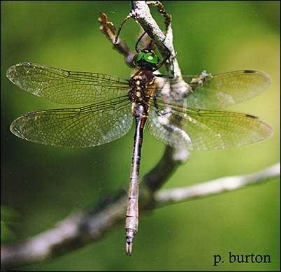 Hine's emerald dragonfly USFWS Hine39s Emerald Dragonfly Fact Sheet