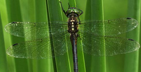 Hine's emerald dragonfly Hines Emerald Dragonfly The Nature Conservancy