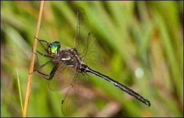 Hine's emerald dragonfly httpswwwfwsgovMidwestendangeredimagesinse