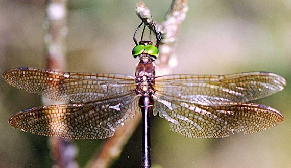 Hine's emerald dragonfly Hine39s emerald dragonfly