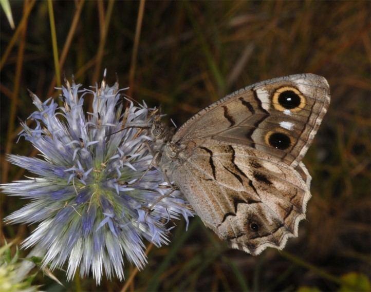 Hipparchia fidia European Lepidoptera and their ecology Hipparchia fidia