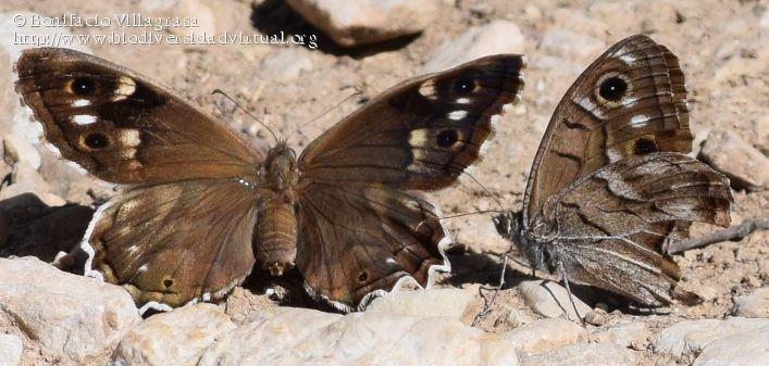 Hipparchia fidia Hipparchia fidia 631797 Biodiversidad Virtual Invertebrados