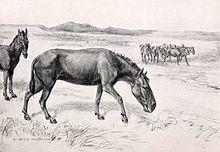 Hippidion httpsuploadwikimediaorgwikipediacommonsthu