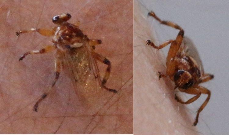 Hippobosca longipennis wwwdipterainfoforumattachmentsttttjpg