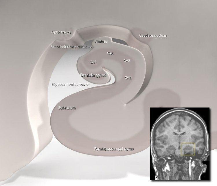 Hippocampal sulcus