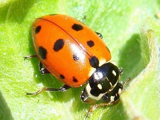 Hippodamia variegata Variegated Lady Beetle Hippodamia variegata BugGuideNet