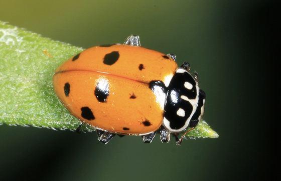 Hippodamia variegata Lady Beetle Hippodamia variegata BugGuideNet