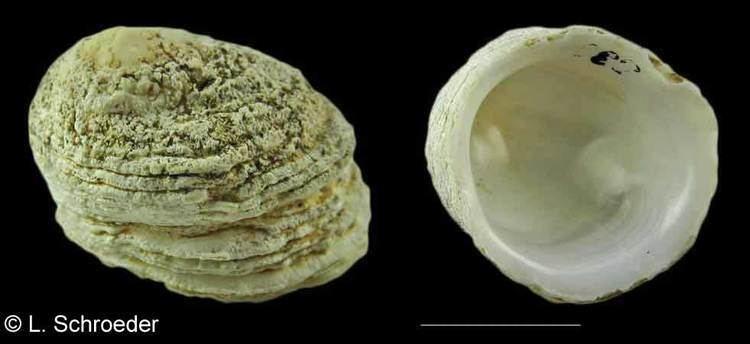 Hipponicidae Gastropods Hipponicidae Calyptraeidae