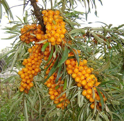 Hippophae Temperate Climate Permaculture Permaculture Plants SeaBuckthorn