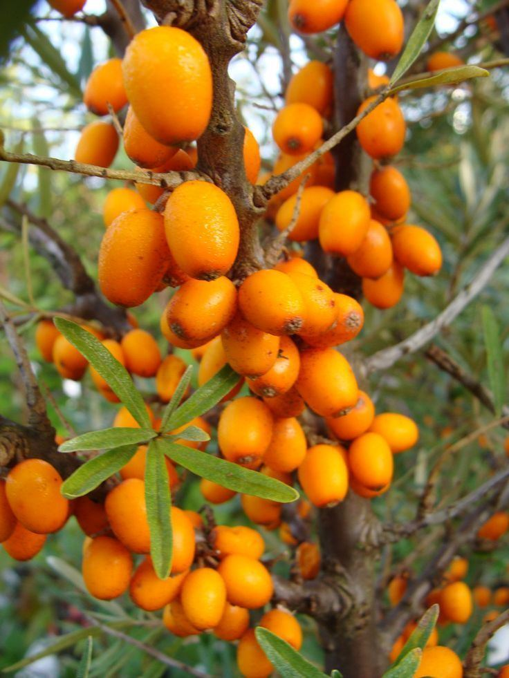 Hippophae 1000 images about Hippophae on Pinterest Plants Pear jam and Orange