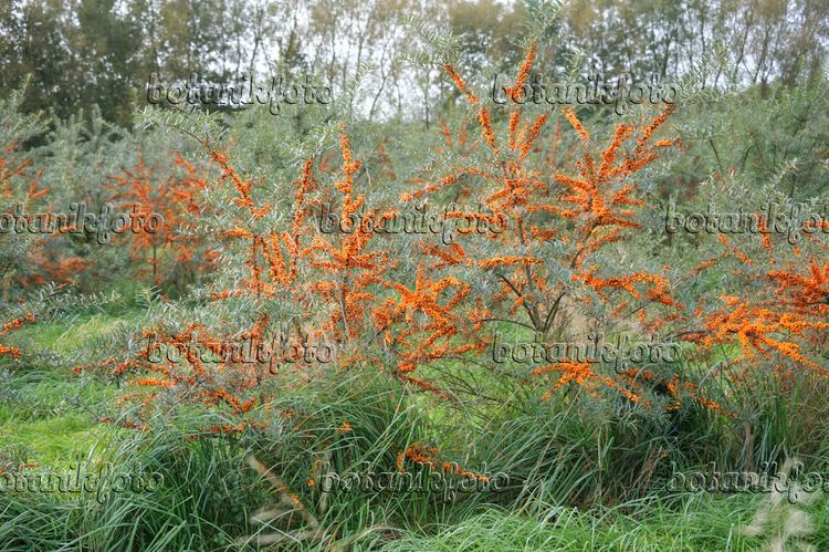 Hippophae Images Hippophae Images and videos of plants and gardens botanikfoto