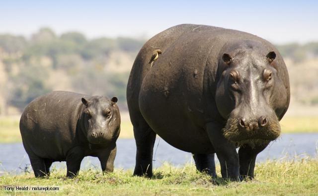 Hippopotamus BBC Nature Hippopotamus videos news and facts