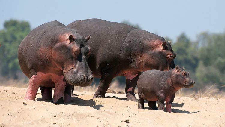 Hippopotamus hippopotamusgroupjpg