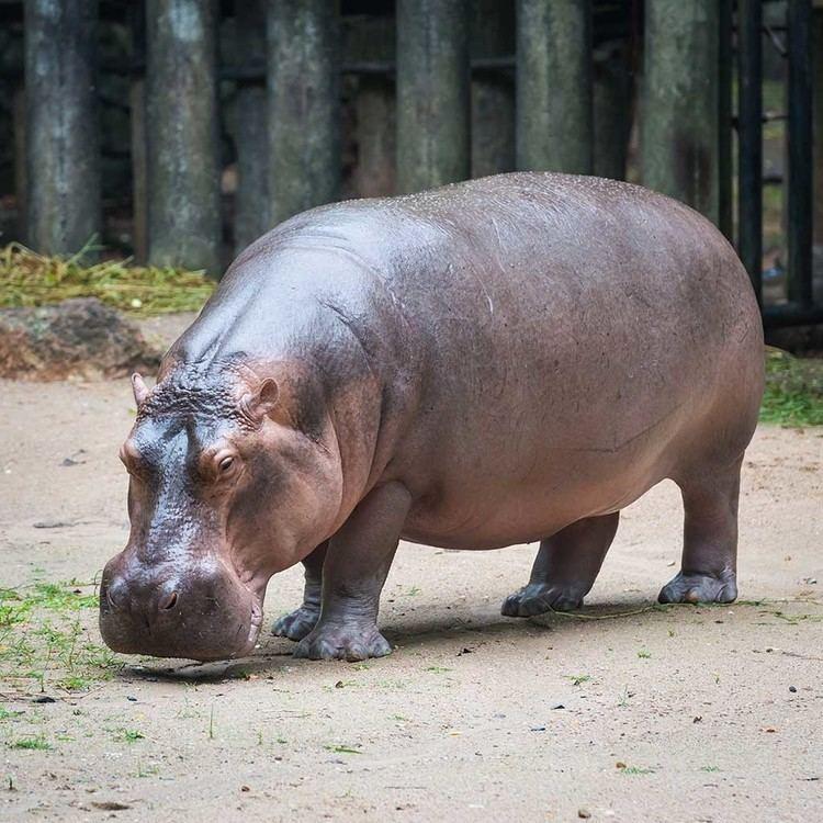 Hippopotamus Why is a Hippopotamus called a River Horse Pitara Kids Network