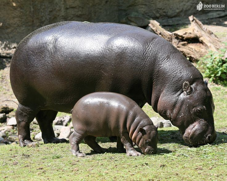 hippo words containing