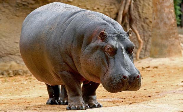 Hippopotamus Buy Hippopotamus Meat from Exotic Meat Market