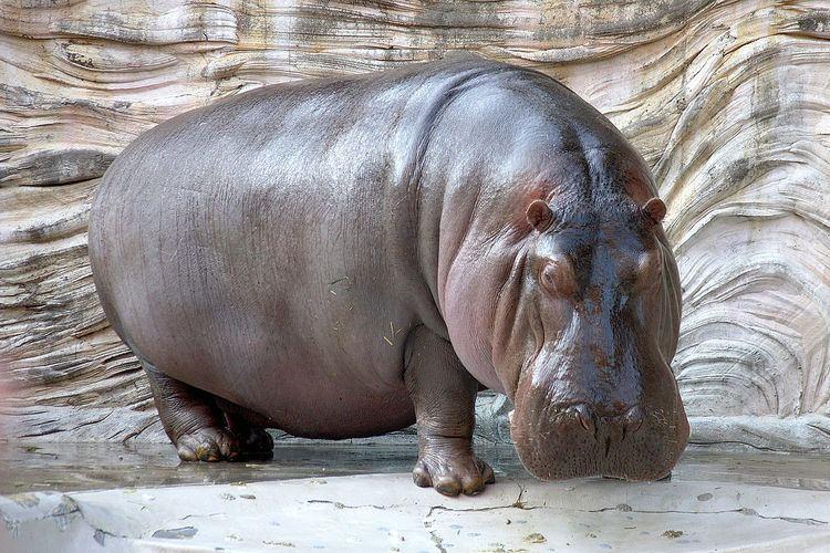 Hippopotamus httpsuploadwikimediaorgwikipediacommonsthu