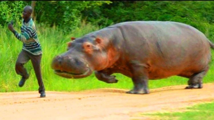 Hippopotamus Hippos Africa39s Most Dangerous Animal Weird Hippopotamus Fun Facts