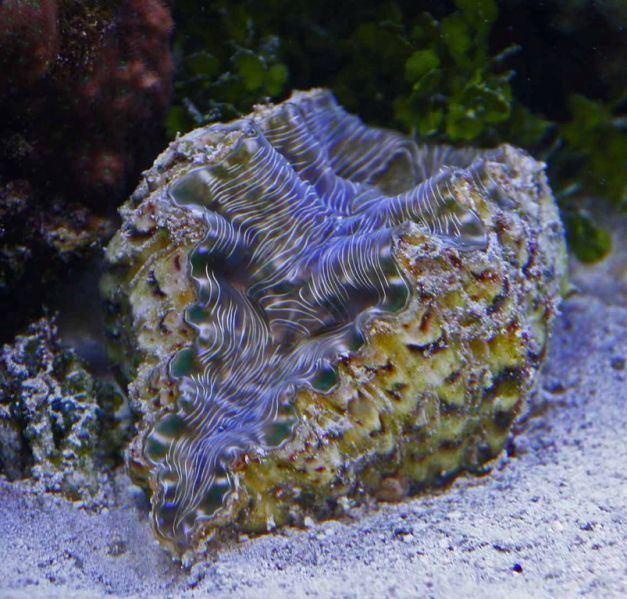 Hippopus Hippopus hippopus Reef Frontiers Member39s Gallery
