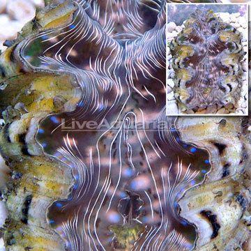 Hippopus Clam Aquacultured