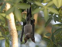 Hipposideros commersoni httpsuploadwikimediaorgwikipediacommonsthu