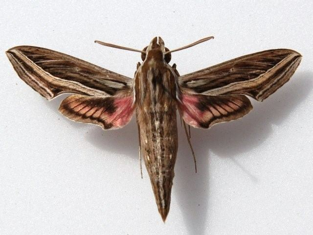 Hippotion Hippotion celerio African Moths