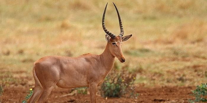 Hirola Hirola Antelope Our Endangered World
