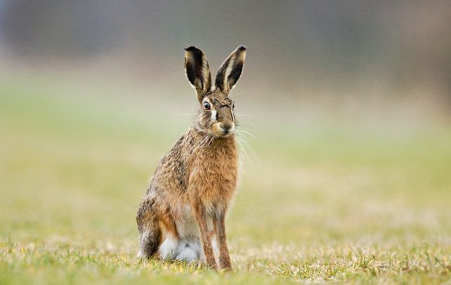 Hispid hare Interesting And Fun Facts About Hispid Hare