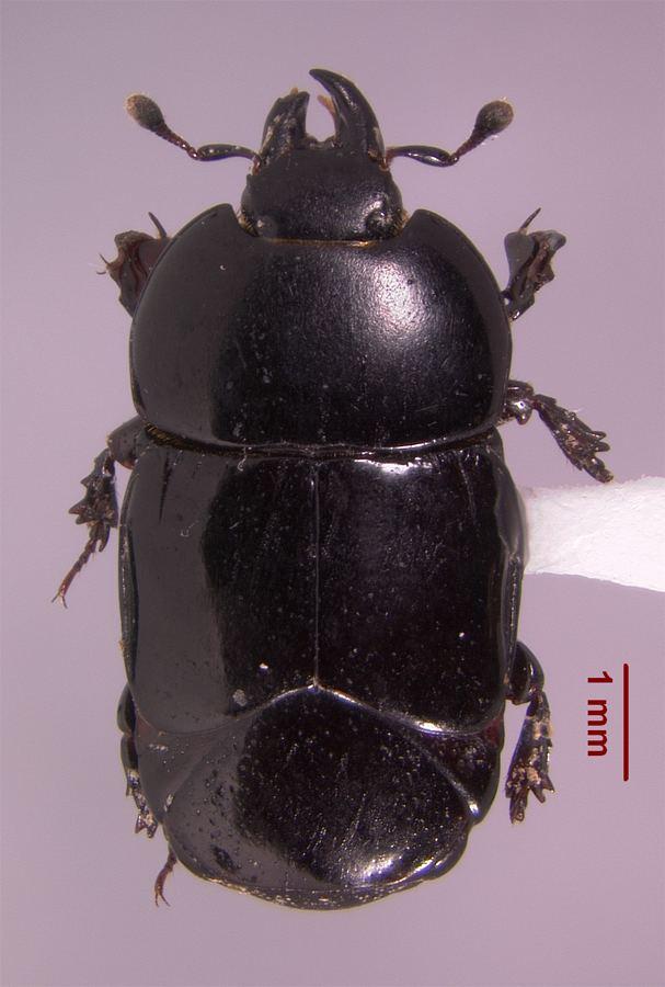 Histeridae Louisiana State Arthropod Museum