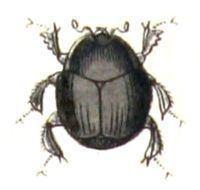 Histeridae Histeridae Wikipedia