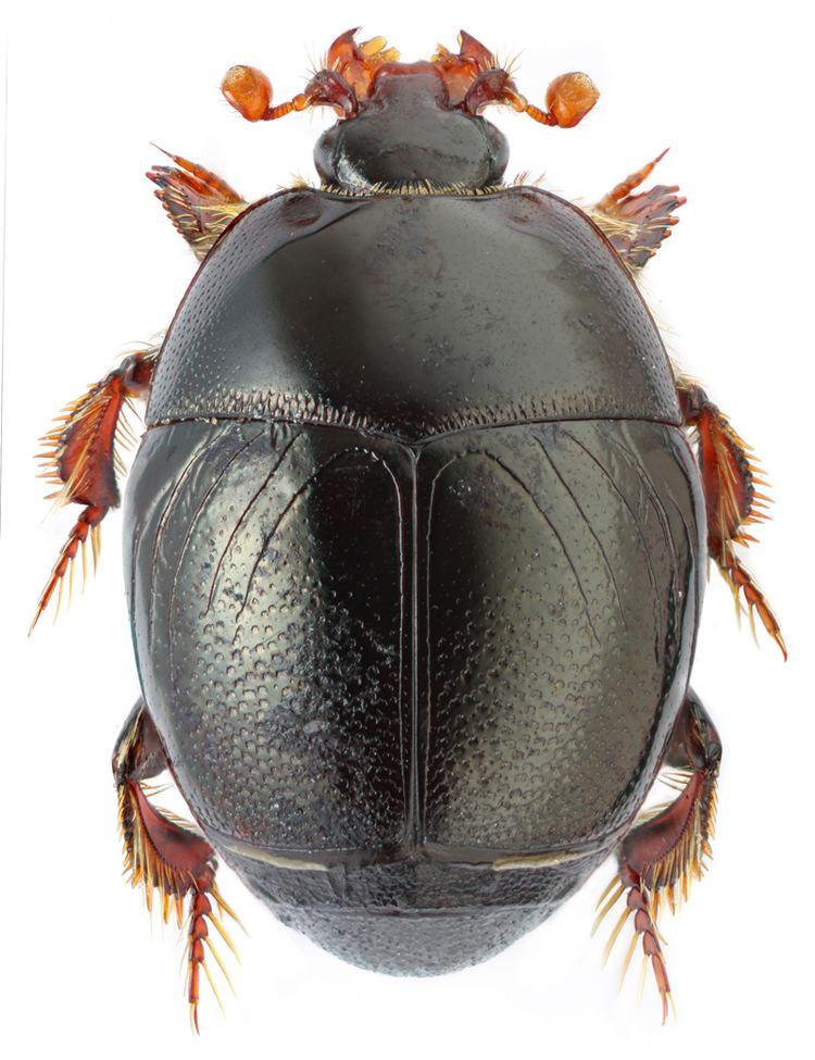 Histeridae Styphrus corpulentus Motsch Histeridae