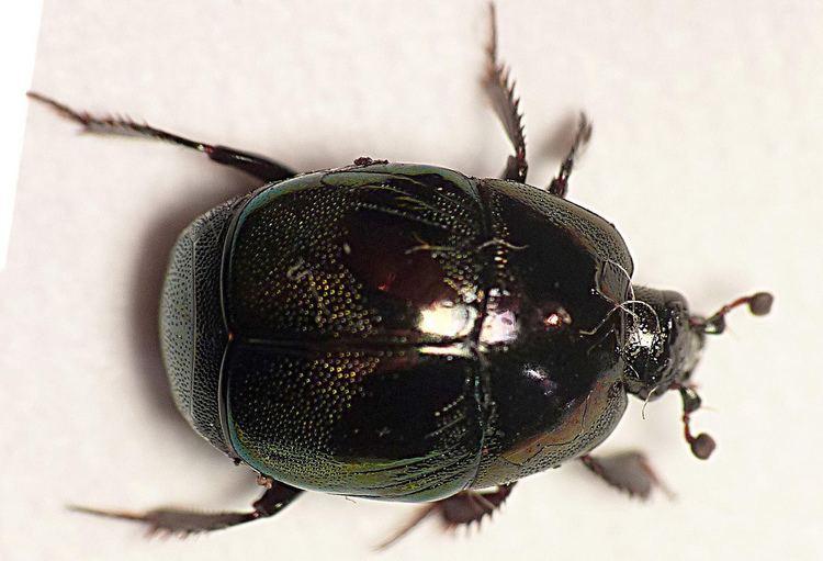 Histeridae Coleoptera Histeridae Saprinus sp P1660781 Common on carc Flickr