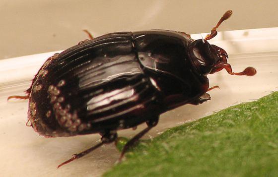 Histeridae Histeridae Eurylister BugGuideNet