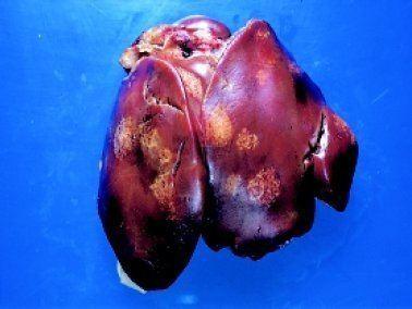 Histomoniasis