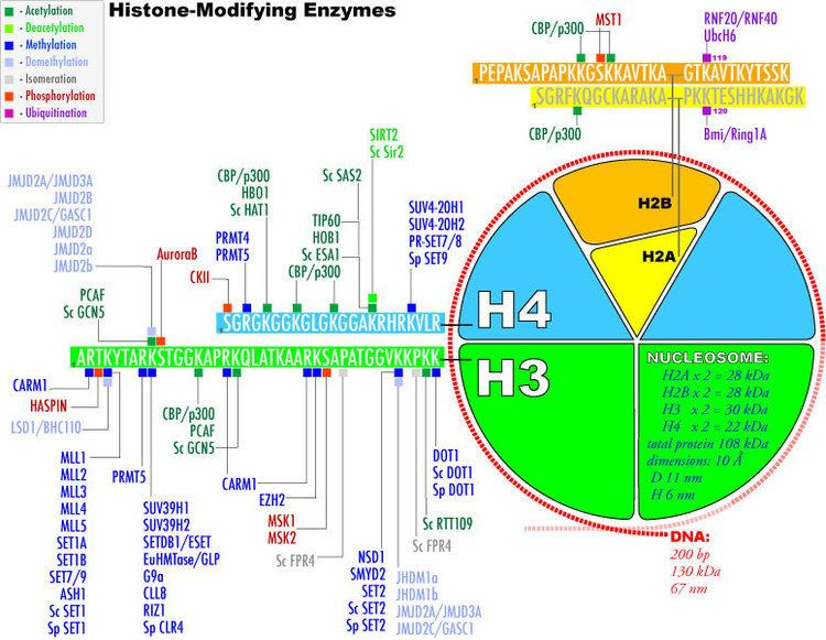Histone-modifying enzymes