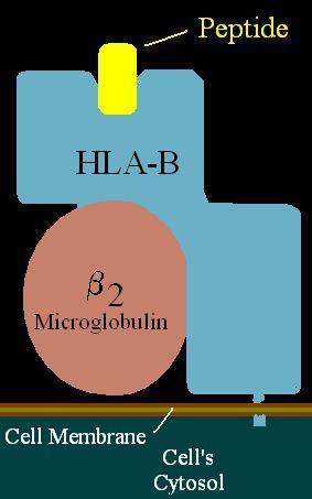 HLA-B57