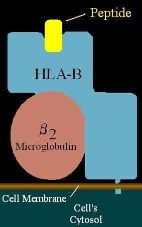 HLA-B81